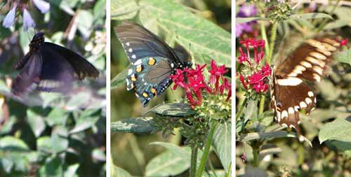 BlogReedSilver_butterflies