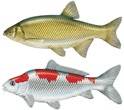 JS Fish 1